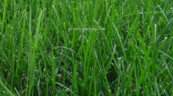 Save Your Lawn During Drought